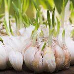 Tudo o que Você Precisa Saber para Plantar Alho Orgânico