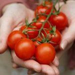 Tudo o que Você Precisa Saber para Plantar Tomate Orgânico