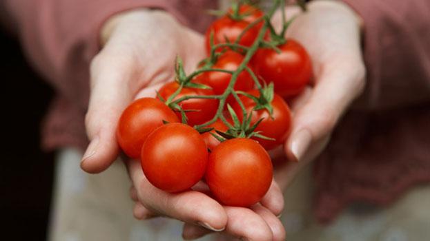 como plantar tomate orgânico