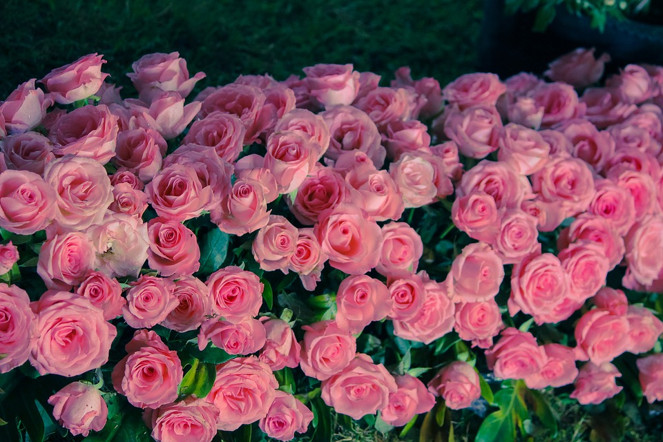 como plantar rosas orgânicas