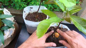 como plantar abacate orgânico : abacate produz em vaso